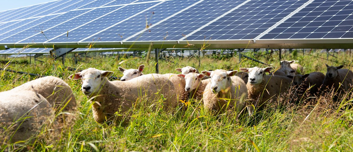 sheep grazing by solar array